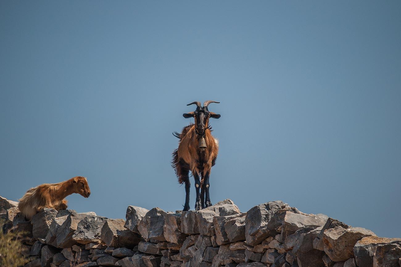 Schinoussa. Goats.